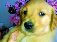 Golden Retriever puppies, 8 weeks old, they have their