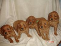 We are selling 7 sweet, beautiful purebred golden