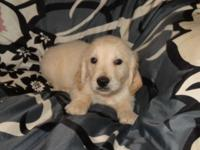 GOLDEN RETRIEVER Puppies for New Homes 10 weeks