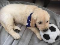 Gorgeous KC Registered Golden Retriever Puppies. Ready