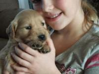 Golden Retriever puppies AKC registered. We gave 3