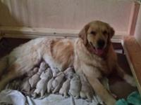 Male and Female Golden Retriever puupies available to