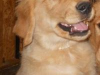 AKC Golden Retriever Puppies (price reduced) One female