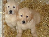 This is a quality litter of Golden Retriever puppies