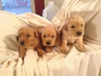 Lovely purebred GOLDEN RETRIEVER young puppies prepared