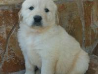 Pure breed Golden Retriever Are CKC Registered 1 Male