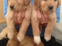 Hi I have 9 puppies. The father is full bred golden. If