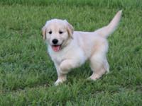 We have one handsome male AKC Golden Retriever pup