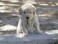 AKC Golden Retriever young puppies. OFA, CERF, elbows