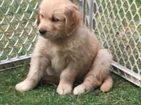 Light Golden male puppy, last one from a litter of 8.