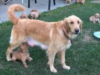 Announcing the first AKC litter, of Golden Retrievers,