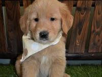 Beautiful Golden Retriever puppies from OFA Hip