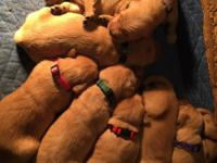 AKC registered Golden Retriever puppiescoming to you