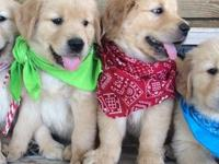 Adorable Golden Retriever Puppy raised in a loving home