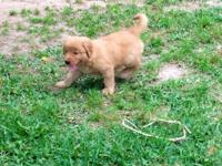Beautiful dark Red Golden Retriever male puppy. Sire is