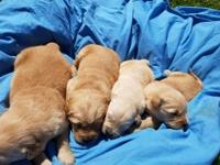 CKC REGISTERED GOLDEN RETRIEVER PUPS. Born April 20