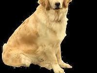 Sheba is a very sweet girl with a medium golden coat.