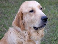 "Golden Pyrenees (aka Great Retriever) ""Arguably the"