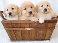 We have an adorable litter of golden retriever puppies