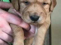 Tucker is an adorable medium golden male puppy. Our