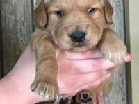 Rosco is an adorable medium golden male puppy. Our