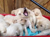Akc puppies 450.00 Senatobia  This ad was posted with
