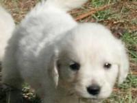 Golden Retriever Pups- English Cream, AKC, Champion