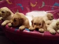 Golden retriever children for sale! They are 5 weeks