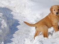 Golden Retriever Pups Purebred Documents 11weeks old