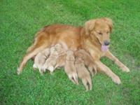 Golden Retriever purebred MALE pup. Adorable. Great