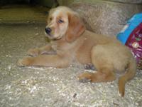 Golden Retriever purebred MALE pup. We call him Prince