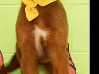 Golden Retriever - Reba - Large - Baby - Female - Dog