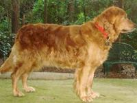 Golden Retriever - Sally #12049 - Large - Adult -