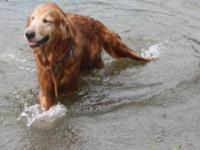 Golden Retriever - Sarah Lea - Medium - Adult - Female