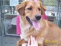 Golden Retriever - Spurs - Medium - Young - Male - Dog