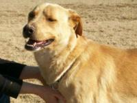 Golden Retriever - Tanner - Large - Adult - Male - Dog