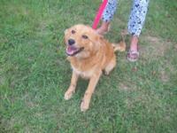Golden Retriever - Wendy - Medium - Adult - Female -