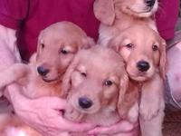 Adorable Golden Retriever Puppies Born May 20 - 6 Males