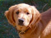 AMERICAN GOLDEN RETRIEVER FEMALE, DOB --20 July.