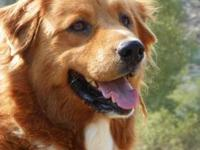Golden Retriever - Teddy Bear - Medium - Adult - Male -
