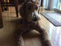 Goldendoodle  1 years old need a loving home with