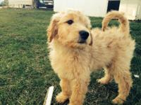 I have a 6 month aged female Goldendoodle for customer.