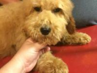 20 week old apricot male goldendoodle. Very good