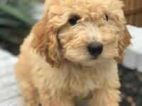 I have a great litter of 6 Standard Goldendoodles.