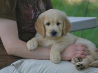 Goldendoodle Puppies!!! So sweet and super soft!