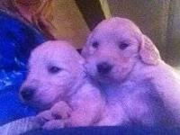We have 4 male goldendoodle puppies left that are ready
