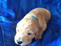 Goldendoodle Puppies For Sale! ($650) We have three