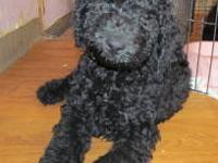 Goldendoodle puppy, large, CKC,, .Born 7/1/2013. f1b,