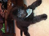 Goldendoodle with CKC papers, male, not fixed, blackish