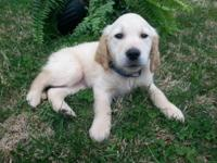 Adorable goldendoodle new puppies. These lovely pet